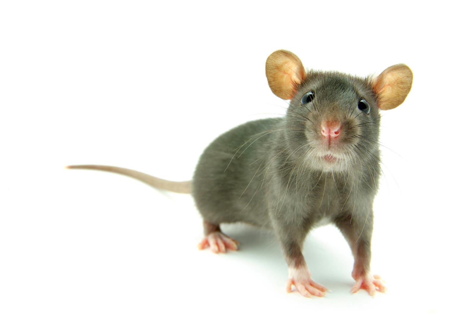 Schwedt Fauna - Ratten als intelligente Haustiere